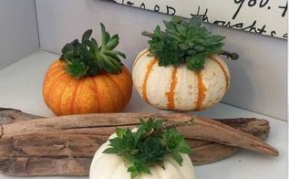 pumpkins succulents happiness, crafts, flowers, gardening, succulents, Pumpkin Love