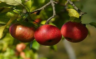 8 simple apple picking tips, gardening, plant care