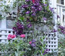 pruning your clematis for top to bottom blooms