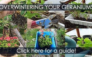 overwintering geraniums method