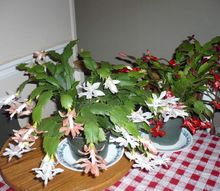 christmas cactus, gardening