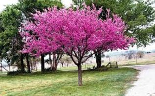 q i absolutely love eastern redbud trees especially my own however