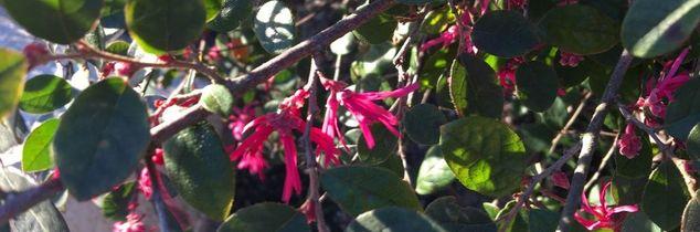 q flowering shrub, gardening