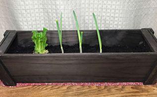re grown veggie scraps