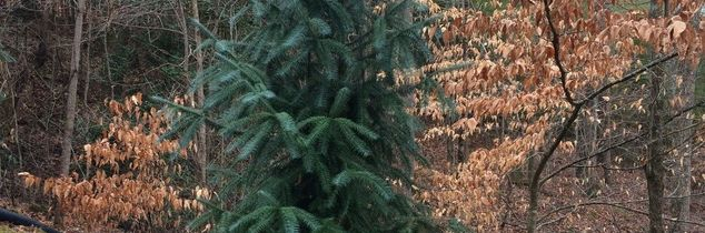 q need help identifying this evergreen please