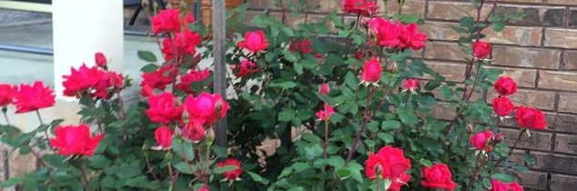 q knockout roses witches broom