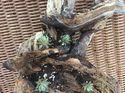q driftwood succulents