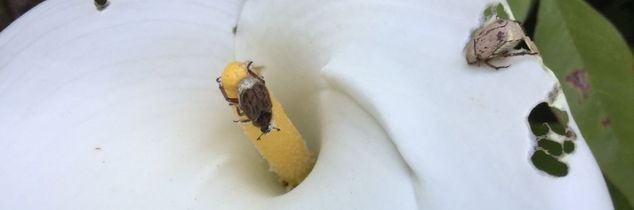 q help this insect is attacking my calla lilies and my roses