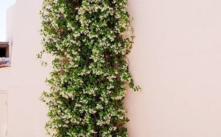 a versatile plant how to care for grow star jasmine