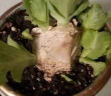 q will dividing my cabbage kill it