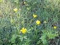 q what can you buy to get rid of yellow weeds