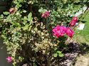 q what is wrong with my knock out roses all 4 bushes have brown leaves