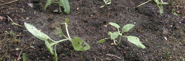 q sunflower insect problem