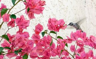 how to plant bougainvillea to grow successfully