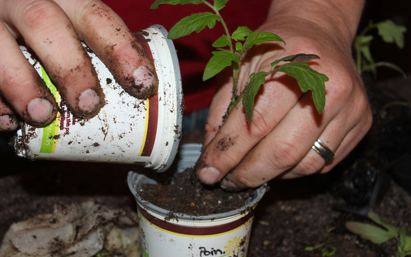 s the easiest ways to grow a bumper crop of tomatoes, Prepare them for life outdoors