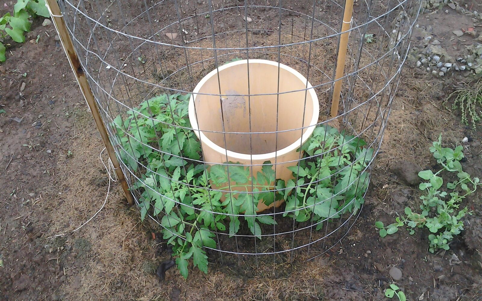 s the easiest ways to grow a bumper crop of tomatoes, Water them frequently at the roots