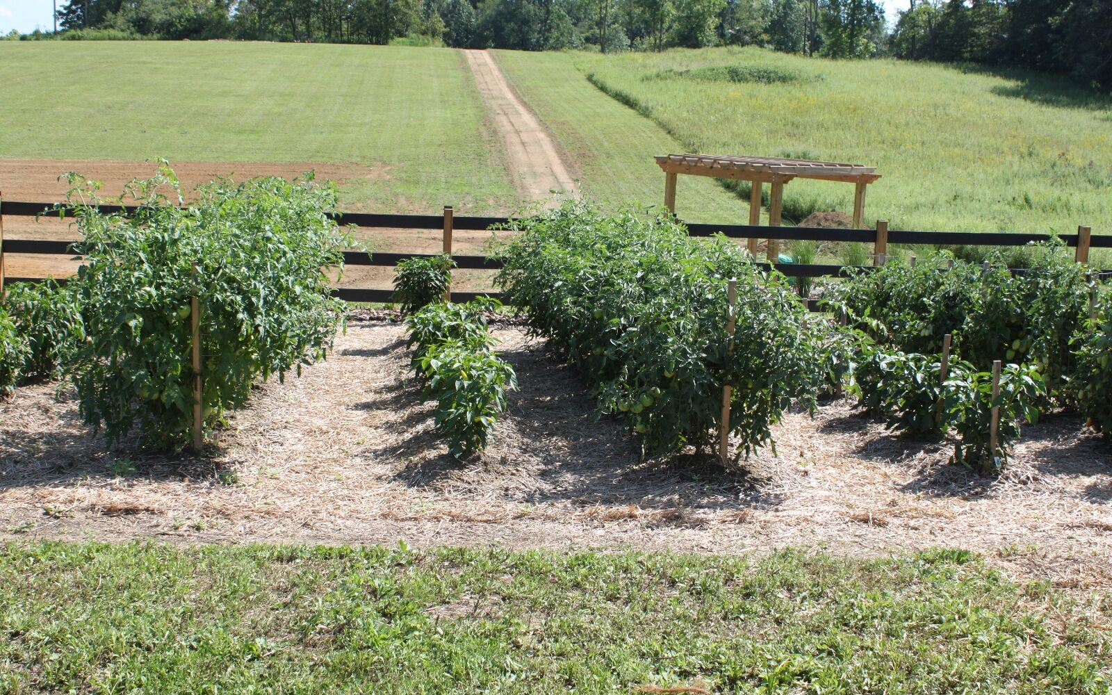 s the easiest ways to grow a bumper crop of tomatoes, Prune the bottom 6 of the plant for air flow