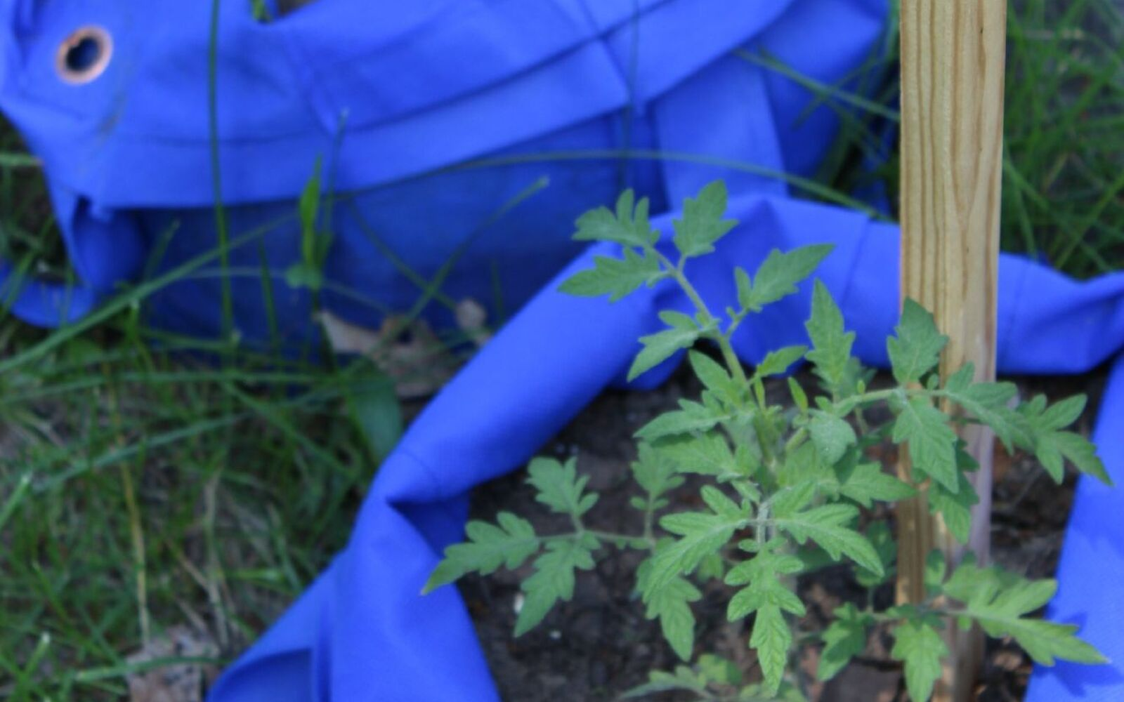 s the easiest ways to grow a bumper crop of tomatoes, Grow them in recycle bags