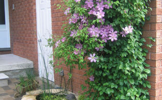 how to train clematis now for beautiful blooms by summer