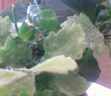 q is there help for my kalanchoe plant