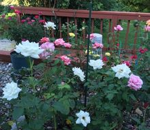 create a rose garden color pallette, Moondance Blooming in the Rose Garden