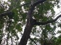 q is it feasible to repair large limb of a mountain ash tree