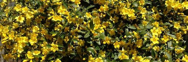 q moving carolina jasmine