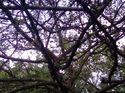 q trees dying