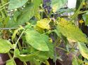 q my tomatoe plants have developed yellowing leaves with black spots