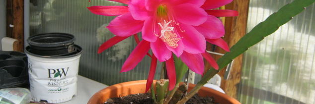 q what is this plant it looks from the christmas cactus family