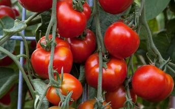 10 famous varieties of tomato plants to grow