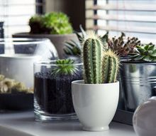 the stickler s guide to growing a cactus indoors