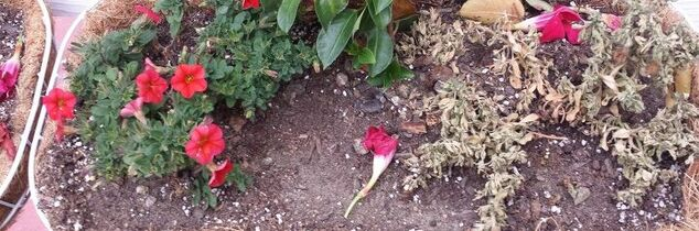 q what happened toyto flowers