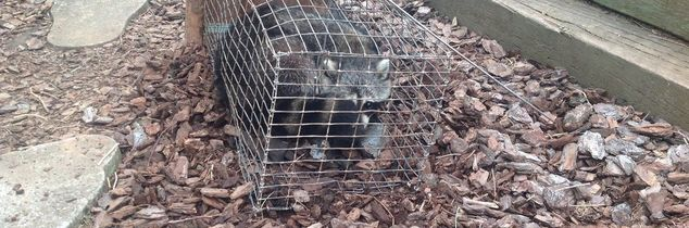 q tried everything to rid our in town home and yard of raccoons