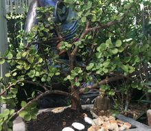 how to bonsai a normal pot plant