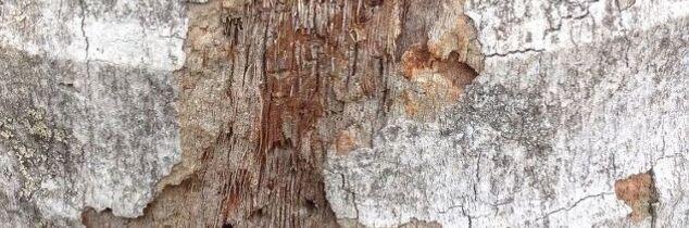 q my bangalow palm is shedding bark help
