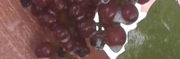 q how long does it usually take for grape vines to produce actual grapes