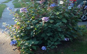 q should i cut back my hydrangea for the winter and if so when