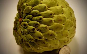 q custard apple size