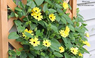 black eyed susan vine aka my little ray of sunshine, gardening