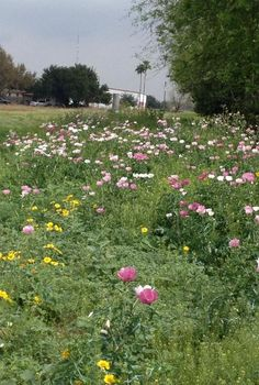 wild flowers, flowers, gardening, Wild flowers growing in my sister s backyard