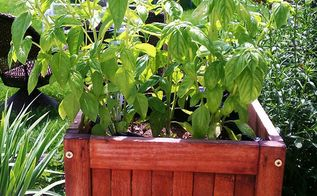 q drying my basil out, gardening, Basil w 2 brown chili peppers behind them Today 8 4 13