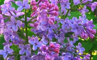 lilacs, flowers, gardening, outdoor living, A favorite springtime flower that comes in several shades of purple and white