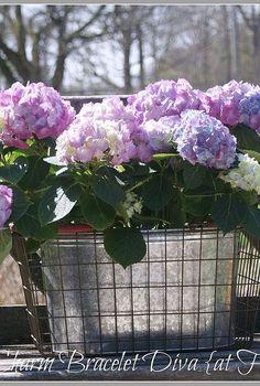hydrangea care, flowers, gardening, hydrangea