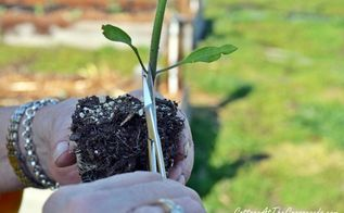 our tomato planting tips, gardening, Clip or pinch off the lower leaves in order to plant more deeply