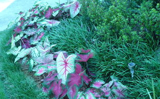 caladium galore love them, gardening, A variety of color