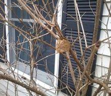 my valentine surprise a mantis nest, pets animals, valentines day ideas, Mantis Nest in Forsythia
