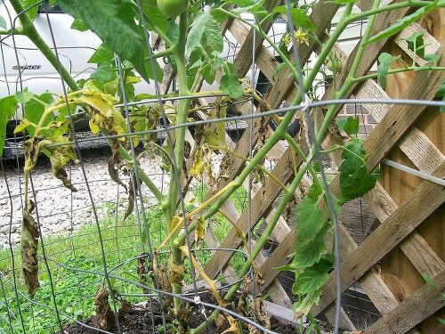 How Often Do You Water Tomato Plants In Raised Beds