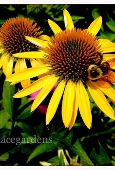 favorite bee pollinator plants for summer gardenchat, flowers, gardening, Coneflowers Echinacea perennial