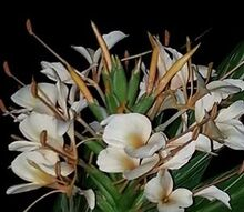one of my newest editions to my garden hedychium vanilla ice, gardening